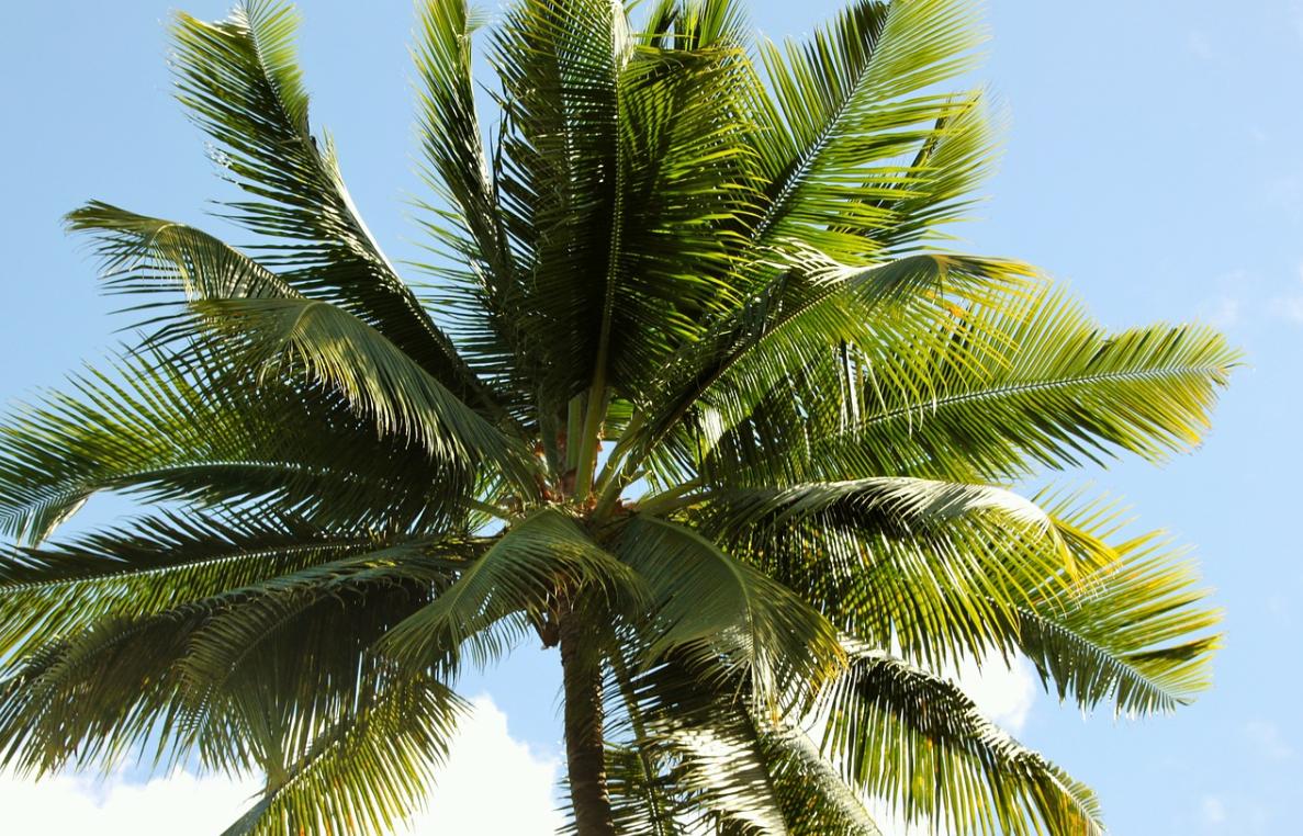 palma a kokosy